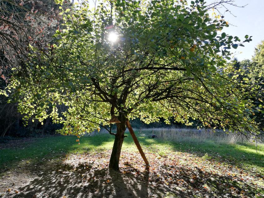 Einer meiner Lieblingsbäume auf unserem Land. Er ist wie ich - nicht mehr jung, trägt noch ganz gut, braucht aber etwas Stütze. (mk)